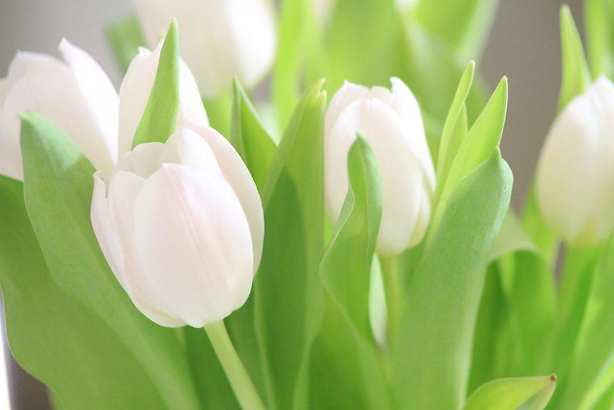 https://i2.wp.com/cdn.c.photoshelter.com/img-get/I0000josuLDYjBi0/s/860/860/Elegance-of-white-tulips.jpg