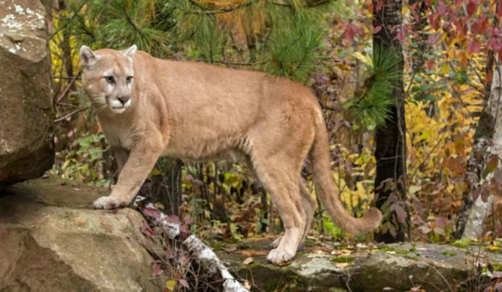 Cougar that killed two pets in north Vancouver Island village euthanized