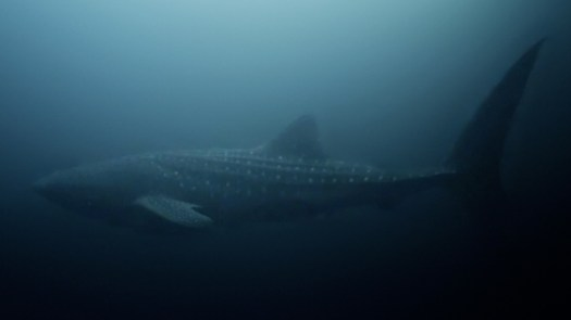 NASA technology can help save whale sharks says Australian marine biologist and ECOCEAN founder, Brad Norman 2