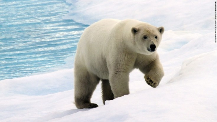 Polar bear: Photo: Expedition Voyage Consulting/EYOS Expeditions