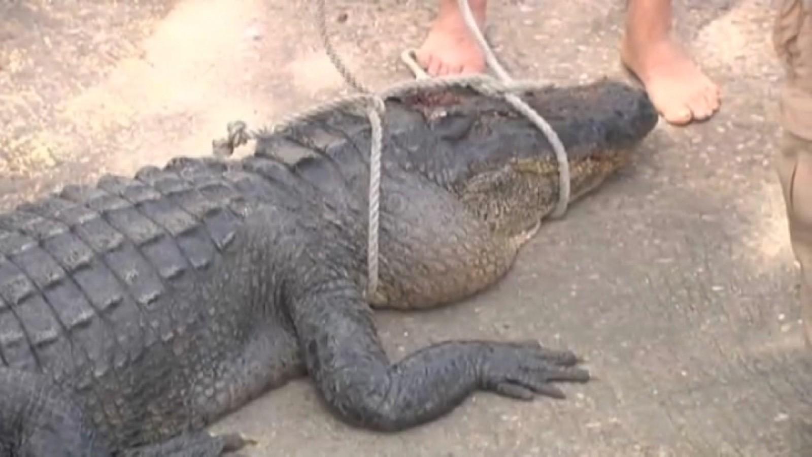 man kills alligator involved in attack
