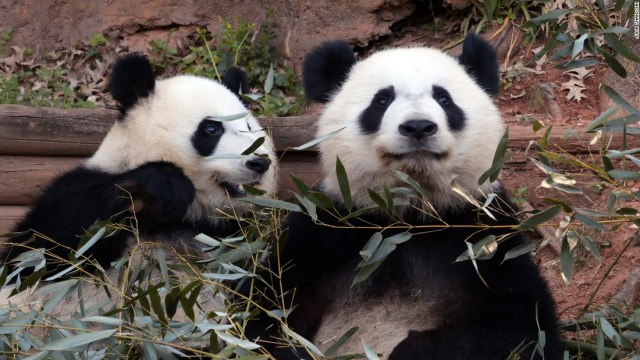 american zoos with pandas