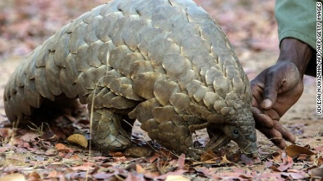 Chinese officials seize record number of pangolin scales