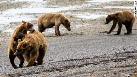 The mine plans include a port development that could impact the Alaskan environment, as in Katmai National Park, where these brown bears were photographed.