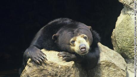 Sun bears retreat from sunny hours near people.