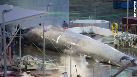 A blue whale at the Hvalur hf whaling station in Hvalfjordur, Iceland.