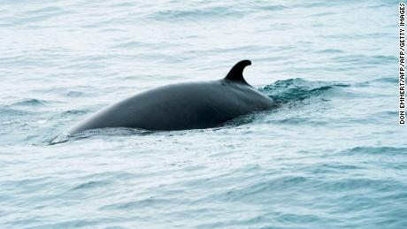 Minke whales are the second smallest baleen whale and at full maturity may reach 7 or 8 meters in length.