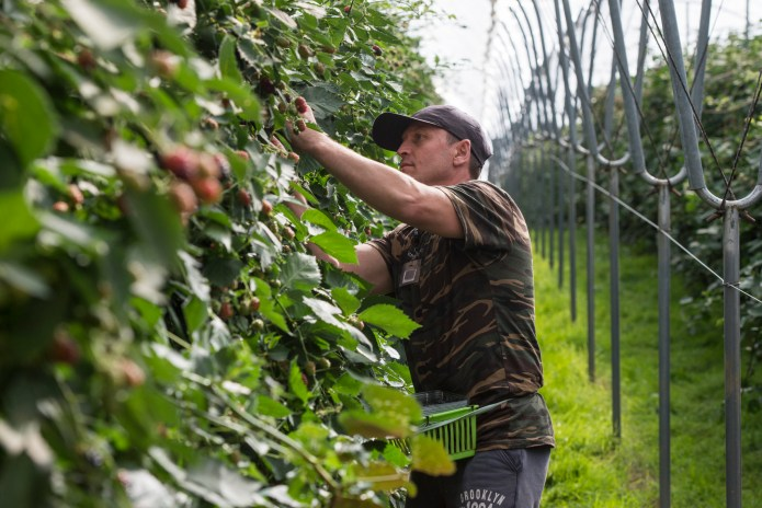Pickers say they travel from Romania because they can earn a lot more than at home.