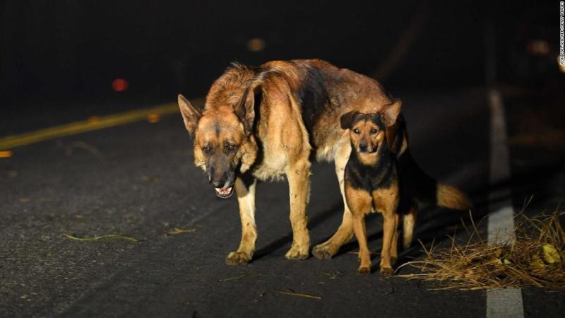 Dogs roam a burned-out neighborhood in Paradise.