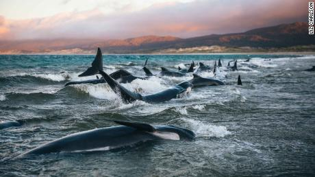 Woman tries to break heart to save 145 beach pilot whales
