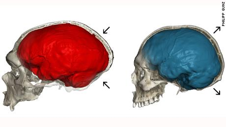 Neanderthal genes could explain the shape of our skulls, study finds