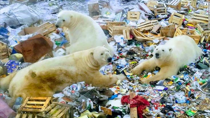 Polar bears invade russian town. Novaya Zemlya, located off Russia's northeastern arctic coast, has been swarmed by dozens of polar bears since December.