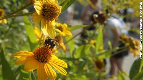Enorme insetto declino potrebbe avere 'catastrofici' impatto ambientale, lo studio dice
