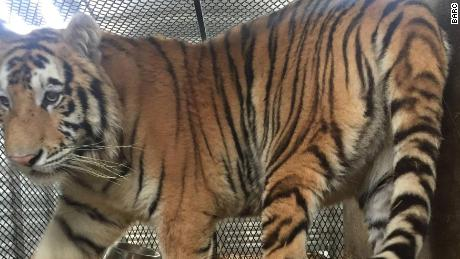 The 350-pound male tiger was transferred to the Cleveland Amory Black Beauty Ranch in Murchison, Texas.