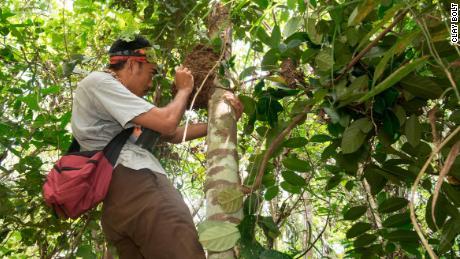 Iswan, die örtliche Reiseleitung des Teams, untersucht einen baumartigen Termitenhügel, der die erste wiederentdeckte Wallace-Riesenbiene und ihr Nest enthält.