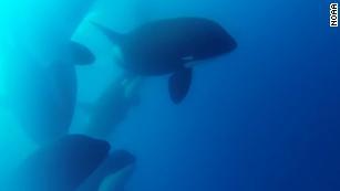 Gli scienziati hanno scoperto quello che potrebbe essere un nuovo tipo di balena killer