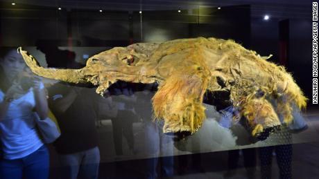 Yuka, a female woolly mammoth is displayed for an exhibition in Yokohama, suburban Tokyo on July 12, 2013.