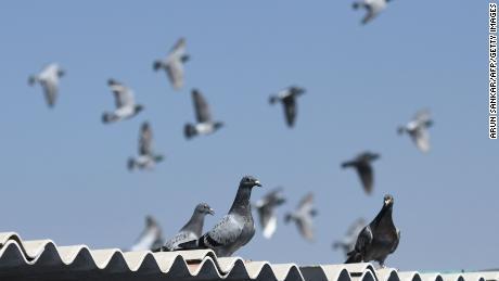 ผู้ซื้อชาวจีนเสนอราคาเป็นประวัติการณ์ 1.4 ล้านดอลลาร์สำหรับนกพิราบแข่ง