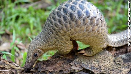 Record haul of pangolin scales highlights Chinese and Vietnamese demand for endangered species