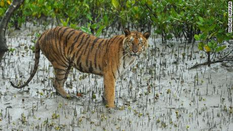 A Bengal tiger in the Sundarbans.