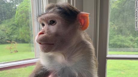 Missouri woman in legal battle to keep three emotional support monkeys