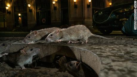 With restaurants closed, rats get aggressive, CDC says