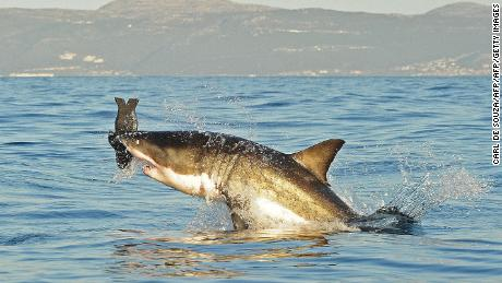 Has the great white shark really disappeared from Cape Town's waters?