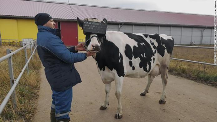 A cow getting fitted for the new VR goggles.