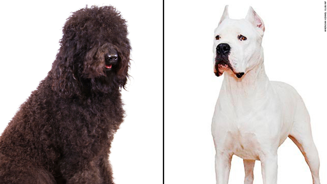 Photo of New canine breeds acknowledged by American Kennel Membership are the barbet and dogo Argentino