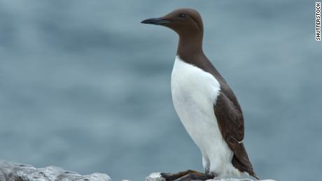 A common die: a North Pacific fish-eater seabird.
