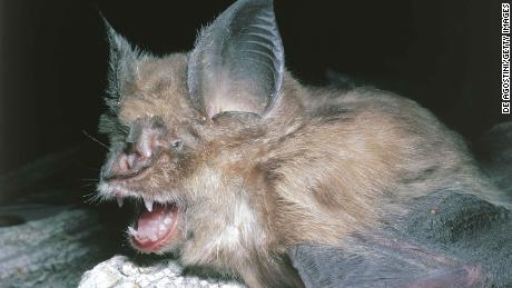 Bats, the source of so many viruses, may be the source of Wuhan coronavirus, experts say