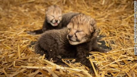 The two cheetah cubs were born for the first time by IVF.  It offers hope for threatened species