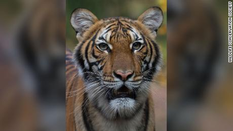 Lions, tigers and house cats: you won't be able to catch coralviruses, experts say