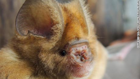 The skin flaps contribute to the name of bats with leaf noses.