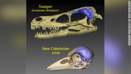 These visuals show brain (blue) endocasts of the skulls of a dinosaur and a modern bird.