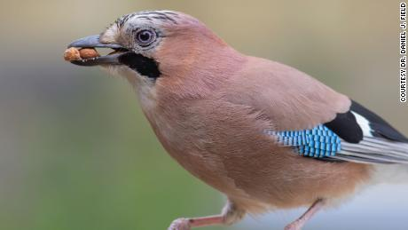 This Eurasian jay is part of the family of large brain birds called corvids.