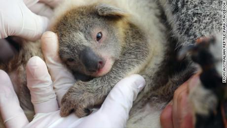First baby koala born in Australian wildlife park since devastating New South Wales bushfires