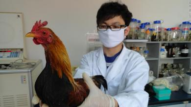 First chicken to ever cross the road was likely in Southeast Asia, scientists say