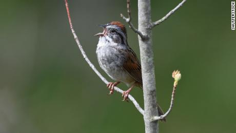 นกสองตัวร้องเพลงดังมากในตอนเช้าเพราะพวกเขากำลังอุ่นเครื่องการศึกษาพบ