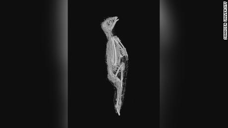 Scans revealed one of the mummies was a Eurasian kestrel.