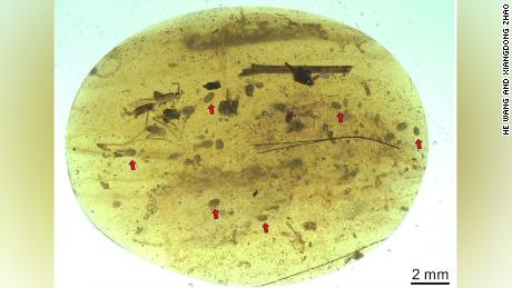 Ostracod crustaceans were entrapped in this tiny piece of Cretaceous amber found in Myanmar.