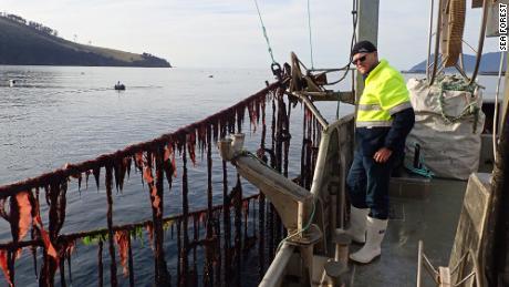 Sea Forest is cultivating asparagopsis in a marine farm off the coast of Tasmania.