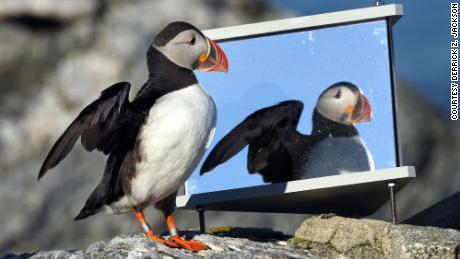 นักอนุรักษ์คนนี้ได้ช่วยชีวิตนกทะเลทั่วโลกด้วยการเรียนรู้ที่จะคิดเหมือนนกพัฟฟิน
