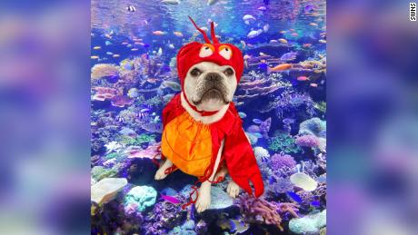"Toad the French bulldog as Sebastian from ""The Little Mermaid."""