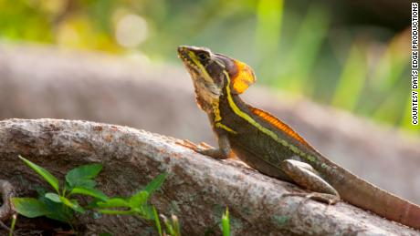 Central American brown basilisks (Basiliscus vittatus) are among the members of a lizard community that converged on a lower temperature tolerance after a cold snap in Miami.