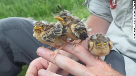 ดิ๊กซิสเซลที่อิงแอบเหล่านี้อยู่ใกล้กับลูกนก