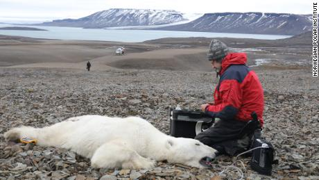 A sedated polar bear on exposed ground in Svalbard.