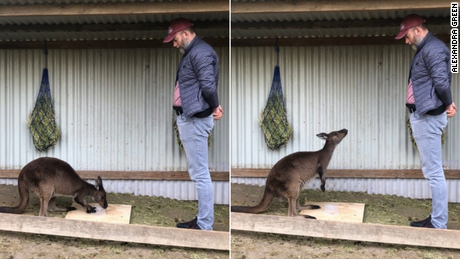 Kangaroos can ask humans for help, new study shows