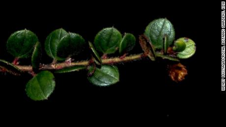 A shrub new to science, Diplycosia puradyatmikai, related to blueberries, was described this year from Indonesian New Guinea.