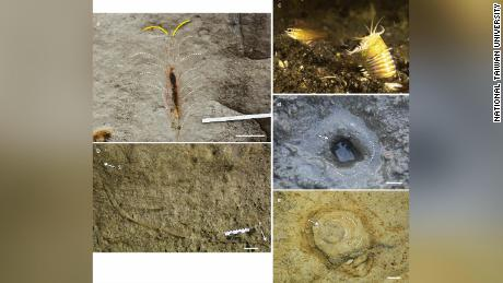 Clockwise from top left: upper part of Penichenus burea;  A Bob Worm (courtesy photo of Chutinun Mora);  A bobbit worm bur;  See the plan of the upper part of Penichenus Burr;  The vertical section of the lower part of the Penichenus burea.